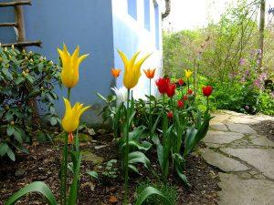 tulpen-im-blauen-haus